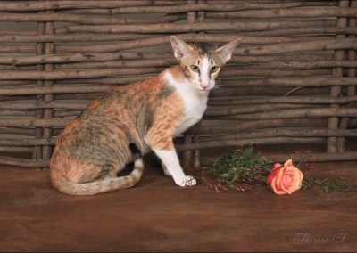 Bell-Aimee Siggy Rose - Black Spotted Tabby Calico Oriental