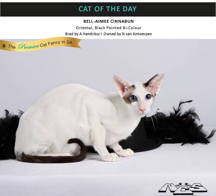 Cinnabun Cat of the Day @ CFSA NCS Show
