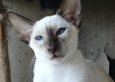 Belle - Chocolate Point Siamese