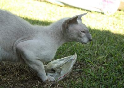 Mads - Peterbald Male